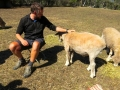 Feeding the pet sheep