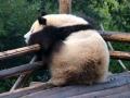 Panda chilling