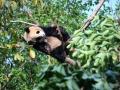 Tree panda