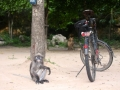 Langur monkey guarding bicycle