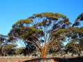 Beautiful gum tree