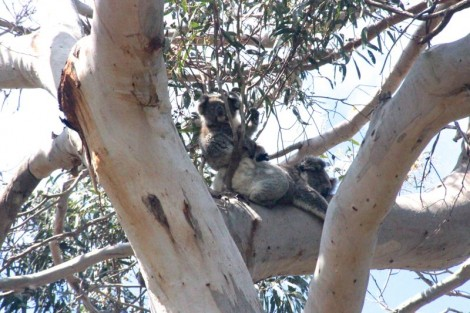 The not so elusive koalas.